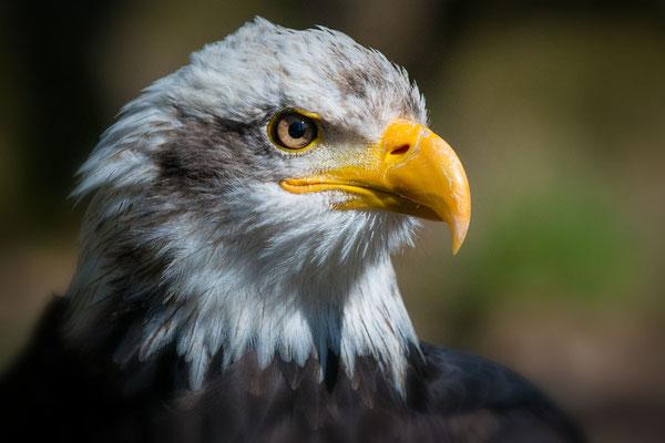 Bald Eagle (C), Falknerei Hessen