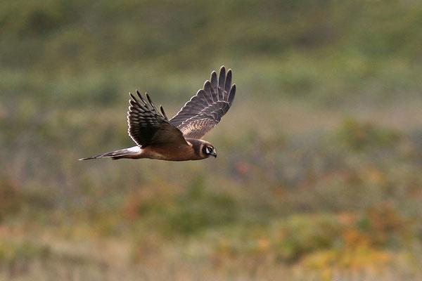 Steppenweihe (Circus macrourus), Pallid Harrier, Spiekeroog © Thorsten Krüger