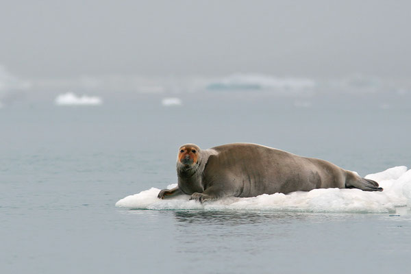 Bartrobbe (Erignathus barbatus), Bearded Seal © Thorsten Krüger