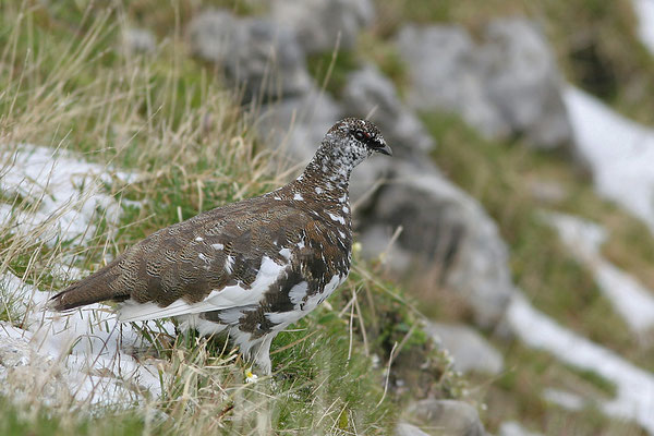 Alpenschneehuhn (Lagopus mutus), Rock Ptarmigan © Thorsten Krüger