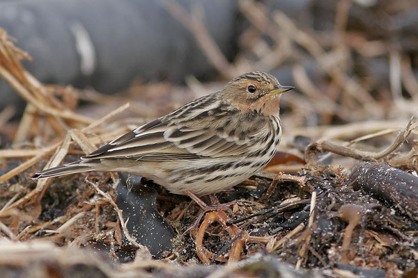 Rotkehlpieper (Anthus cervinus), Red-throated Pipit; Helgoland © Thorsten Krüger