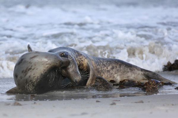 Kegelrobben (Halichoerus grypus), Grey Seals © Thorsten Krüger