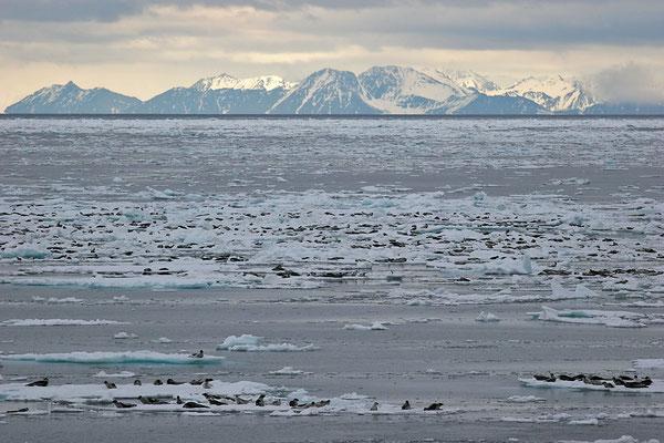 Sattelrobben (Pagophilus groenlandicus) so weit das Auge reicht, Harp Seals © Thorsten Krüger