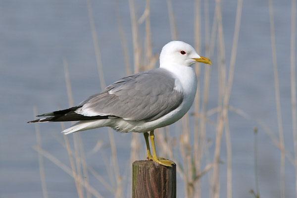 Sturmmöwe (Larus canus), Mew Gull © Thorsten Krüger