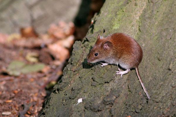 Waldmaus (Apodemus sylvaticus), Wood Mouse © Thorsten Krüger