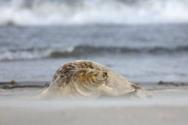 Kegelrobbe (Halichoerus grypus), Grey Seal © Thorsten Krüger