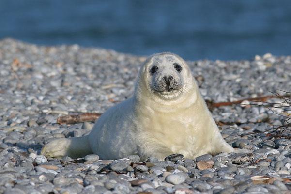 Junge Kegelrobbe (Halichoerus grypus), Grey Seal © Thorsten Krüger