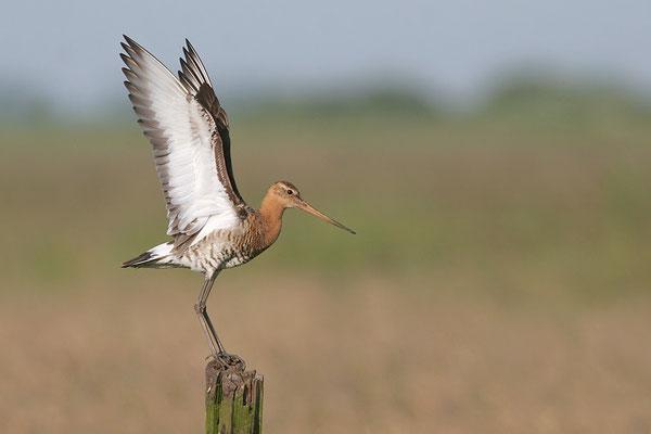 Uferschnepfe (Limosa l. limosa), Flügelsignalhaltung, Black-tailed Godwit © Thorsten Krüger