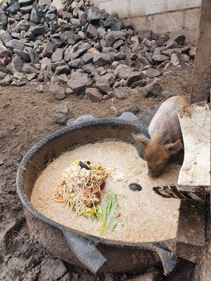 Nach 3 Wochen fangen die Ferkel an sich für feste Nahrung zu interessieren