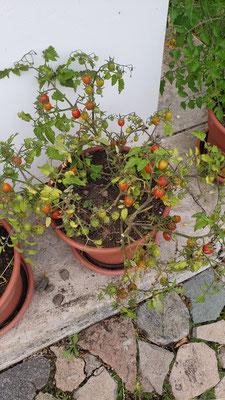Tomaten aus dem Garten