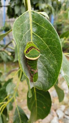 Eine Raupe der Gattung Papilio menatius in unserem Garten