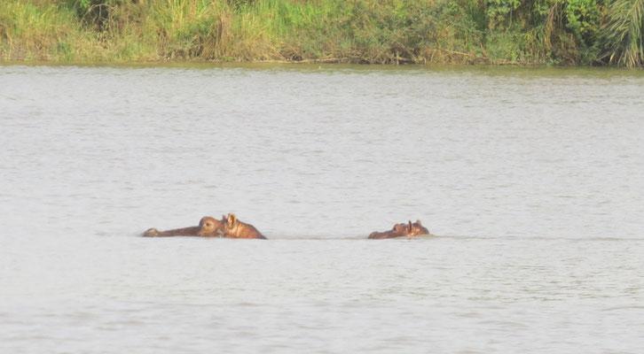 Femelle hippo et son petit