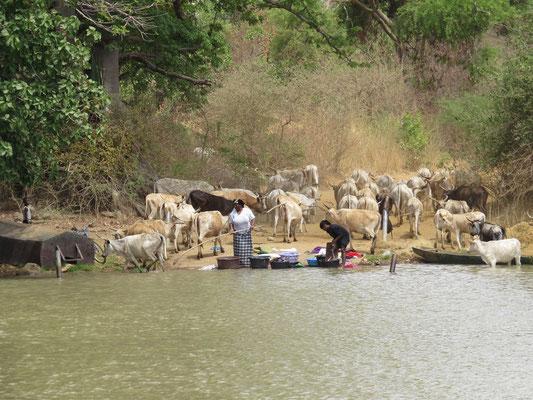 Lessive à partager avec les vaches sur le lieu de notre baignade de la veille.