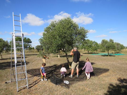 Récolte des olives. On les olives sont ceuillies dans l'arbre et réccupérées sur un filet au sol.