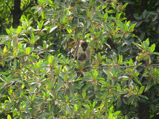 Singes dans les arbres à 50m du bateau