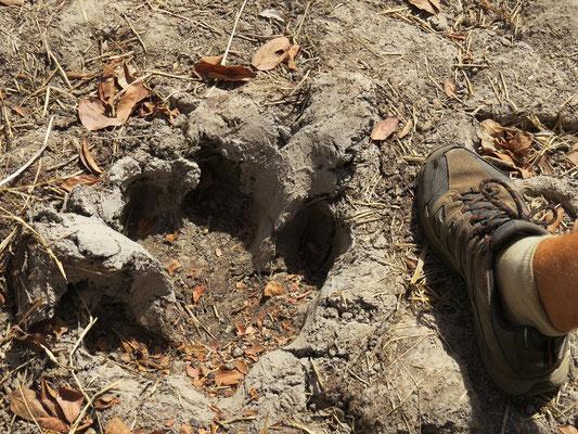 Empreinte de pas d'hippopotame datant de la saison des pluies de l'année dernière.