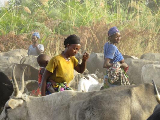 Chaque bête est attachée à un pieu. Nous avons compté 300 bovins.