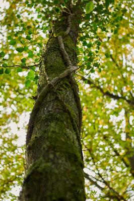 vieux lierre entourant un tronc