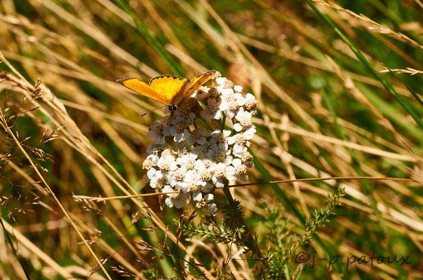 papillon cuivré sur fleur de mille feuilles