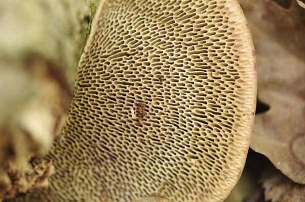 détail des tubes d'un champignon