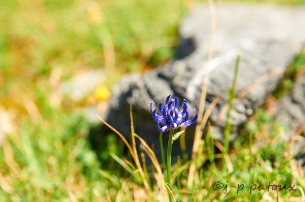 une fleur de Raiponce