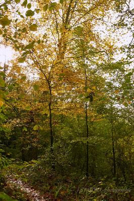 jeunes hêtres pour renouveler la forêt