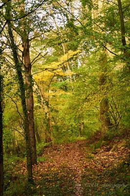 taillis sous futaie ou lumière d'automne en sous bois, celon l'envie !