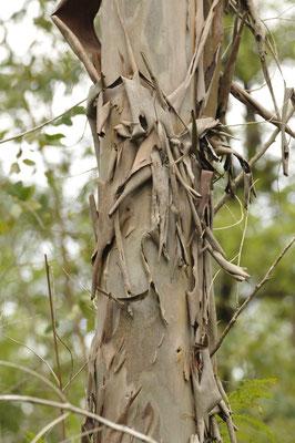 tronc desquamé de l'eucalypthus