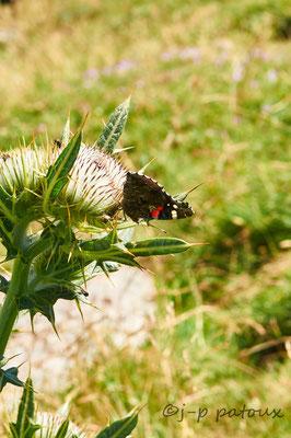 papillon Vulcain sur un capitule de Cirse