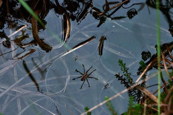la Dolomède, une araignée qui huile ses pattes pour marcher sur l'eau