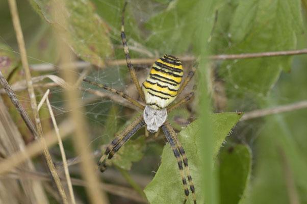 argiope frelon, la N°1 au top mode des araignées
