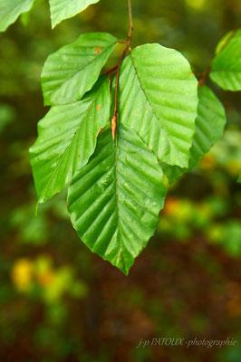 feuilles, ca vous aviez trouvé ! .. de hêtre