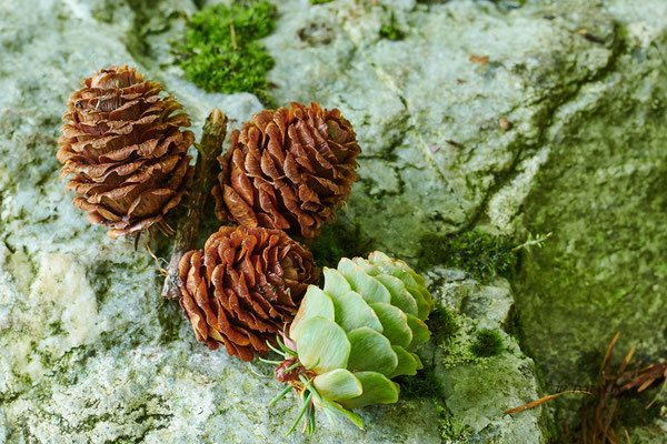 des cônes de mélèze secs et encore vert
