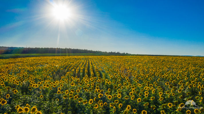 Ein Sonnenblumenfeld nahe Mellrichstadt