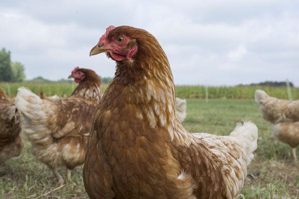 Huhn 37 von der anderen Seite