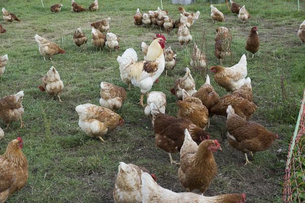 Der hübsche Hahn mit seine Mädels