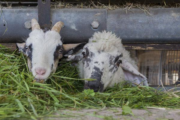 Schaf Victoria mit einer Lämmerfreundin