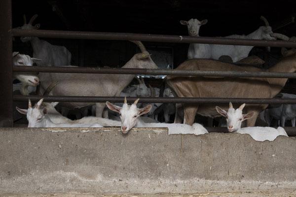 De lammetjes wachten op hun mama's tijdens het melken