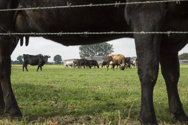"""Kuhter""Blick auf die Herde"
