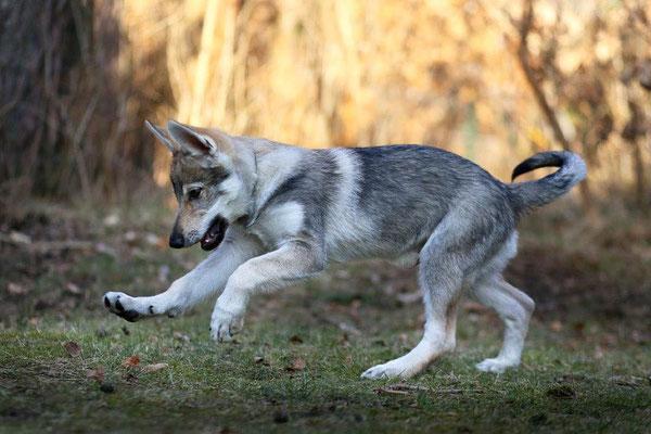 Aramis Alf vom Kaskadenwolf