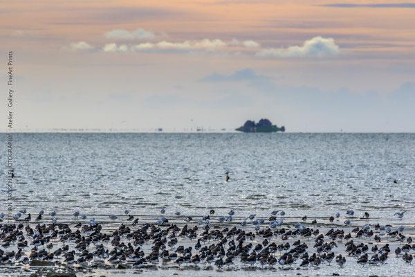 Abendstimmung mit Austernfischer | Hintergrund Hallig Südfall