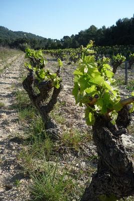 Le vin de Bandol