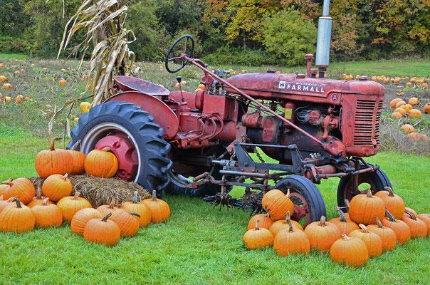 Pumpkin Ernte in Vermont südlich von Bennington