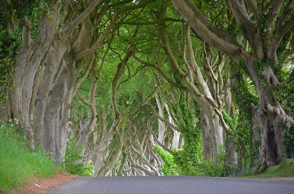 Die berühmte Dark Hedges Lane ist eine mit urigen Bäumen bewachsene Allee nordöstlich von Ballymoney in Nordirland.