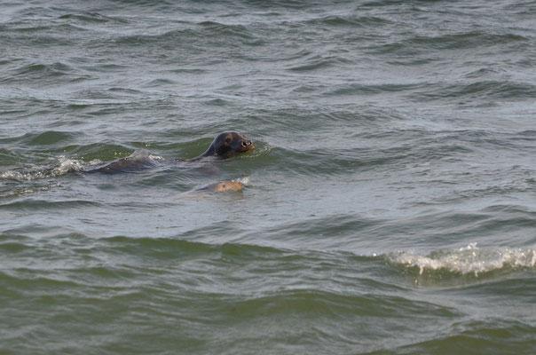 Seehunde schwimmen ganz nah am Ufersaum entlang. Ein wunderbares Erlebnis.