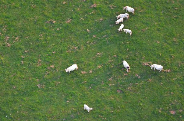 Rinder schauen zu uns hoch.