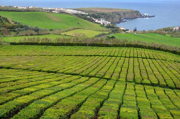 Besichtigung der Tee-Plantage Chá Porto Formoso.