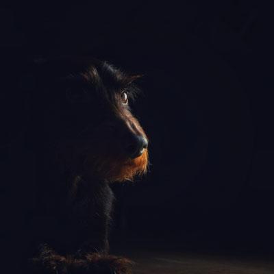 Rauhaardackel Gimli