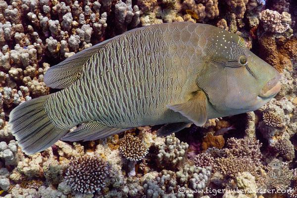 Napoleon / humphead wrasse or Napoleon wrasse / Cheilinus undulatus / Abu Ramada Süd - Hurghada - Red Sea / Aquarius Diving Club