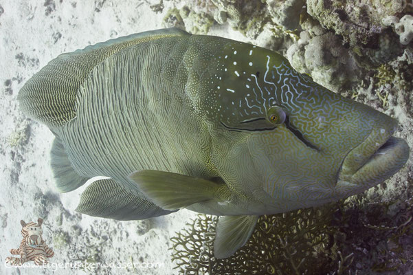 Napoleon / humphead wrasse or Napoleon wrasse / Cheilinus undulatus / Godda Abu Ramada East/West - Hurghada - Red Sea / Aquarius Diving Club